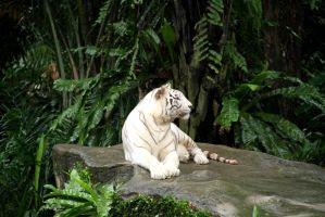 White Tiger by TheRealCJ