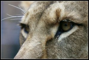 Lion eyes by AF--Photography