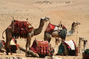 Camels in the desert of Egypt by 1photo