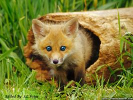 Blue eyed Fox kit by EmberPaige
