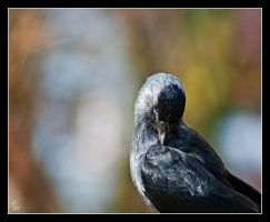 Hooded Crow by Alexandra35