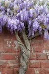 Purple Tree by CD-STOCK by CD-STOCK