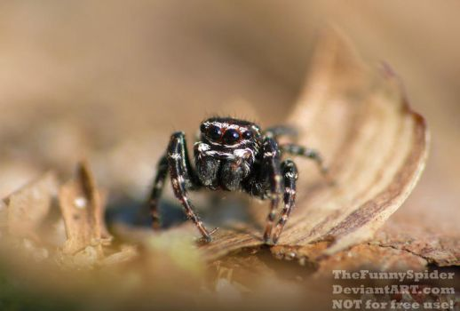 Super cute Jumping Spider of unknown species by TheFunnySpider