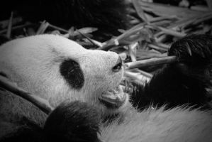 Panda in china by lindaatje