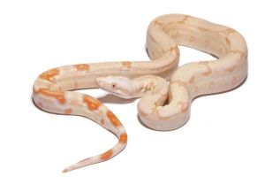 Albino Boa by mack1time