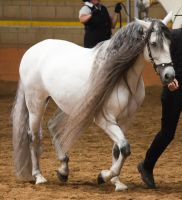 STOCK - 2014 Andalusian Nationals-167 by fillyrox