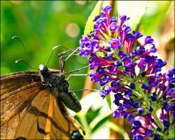 Butterfly Bush by bamako