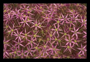 Allium Christophii by phoenix-69