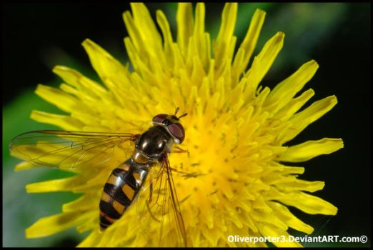 Platycheirus Hoverfly by oliverporter3