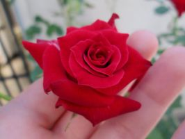 Red rose 1 by FuriarossaAndMimma