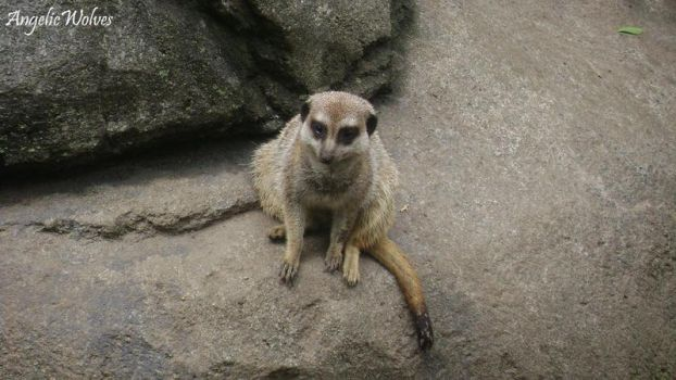 Lonely Meerkat by AngelicWolves