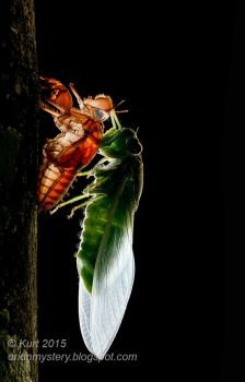 Newly emerged cicada (IMG 8109 copy) by orionmystery