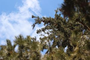 evergreen tree 1 by FreedomeSoul88