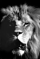 Lion 7 by Art-Photo