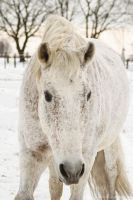 White andalusian in the snow by Nexu4