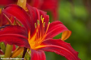 Red Lilly by amrodel