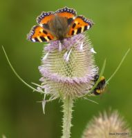 on the thistle by stevepoxon