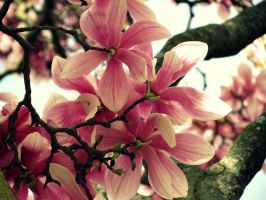 Spring Magnolias (2) by Michies-Photographyy