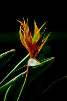 Bird Of Paradise by Bluebuterfly72