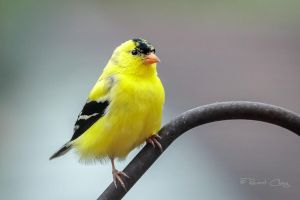 .:Spring Male Goldfinch:. by RHCheng