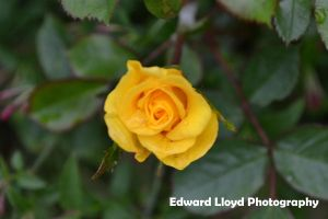 Yellow Flower 1 by edthefred