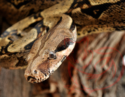 Colombian Boa by HitoshiHalfbreed