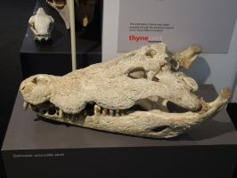 Saltwater Crocodile Skull 01 by lizardman22