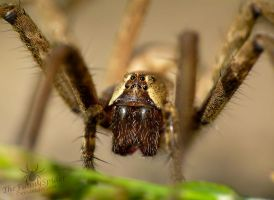Nursery Web spider - super macro by TheFunnySpider