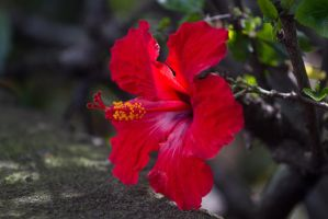 Sunny Red Flower by tingharp