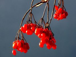 red berries in January by Dieffi
