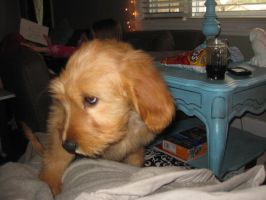 My pets: Isabella as a puppy 3 by brindlecatt