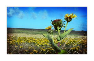 FLOWERS AND FIELDS OF TIREE by rosebud10