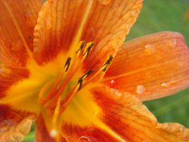 Tiger Lily by PhotoStox