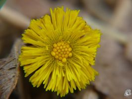 Coltsfoot by IndianRain