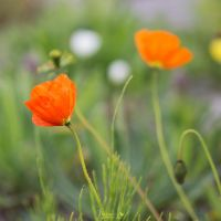 Poppies by Musterkatze