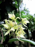 Orchid Encyclia Fragrans by swallowtailshimmer