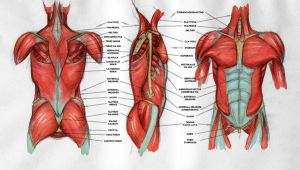 Torso Anatomy by Arcandio
