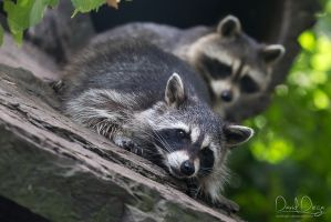 Racoon pile by Wolfling01