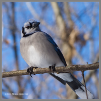 Blue Jay Perched by Mogrianne