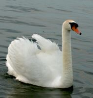 swan 1 by Drezdany-stocks