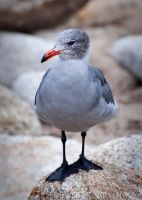 Seagull by DeniseSoden