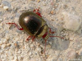 Red and golden beetle by Jorapache