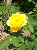 Another Bright Yellow Rose. by KristineAdelia