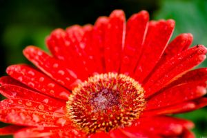 Gerbera by StainXY
