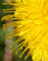 Dandelion by Of-the-Mist