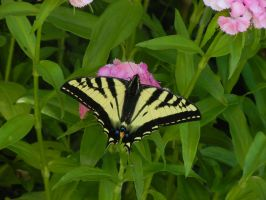 Western Tiger Swallowtail by Friendlyfoxpal