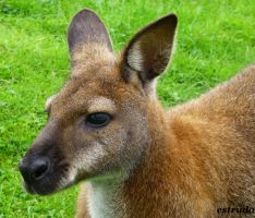 Portrait Of A Young Kangaroo by Estruda