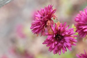 Pink chrysanthemums 5 by greyrowan