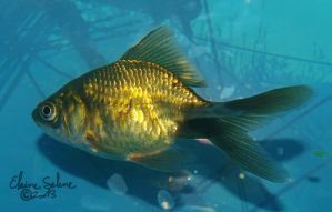 Stay Gold - the GOLD Goldfish - 24 by ElaineSeleneStock