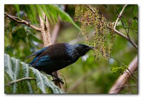 The Amazing Tui by RoieG